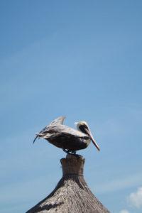 mexico bird